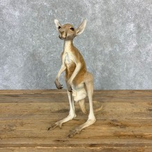 Macabre Joey Kangaroo Taxidermy Mount For Sale #23174 @ The Taxidermy Store