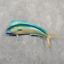 Mahi Mahi Taxidermy Fish Mount #20052 For Sale @ The Taxidermy Store