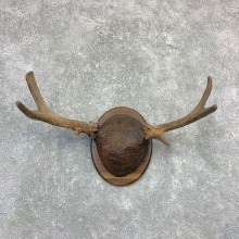 Maine Moose Antler Plaque For Sale #23191 @ The Taxidermy Store