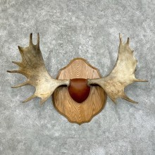 Maine Moose Antler Taxidermy Plaque For Sale