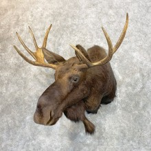 Maine Moose Taxidermy Shoulder Mount For Sale