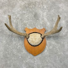1973 Maine Moose Taxidermy Antler Plaque For Sale