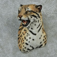 Male Ocelot Taxidermy Shoulder Mount #12903 For Sale @ The Taxidermy Store