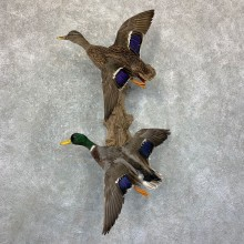Mallard Drake and Hen Taxidermy Duck Mount For Sale #22961 - The Taxidermy Store