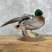 Mallard Duck Drake Bird Mount For Sale #22903 @ The Taxidermy Store