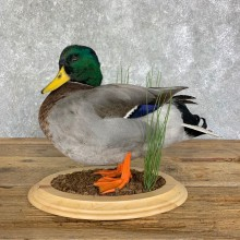 Mallard Duck Drake Bird Mount For Sale #22904 @ The Taxidermy Store