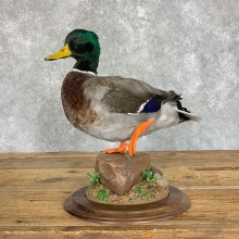Mallard Duck Drake Bird Mount For Sale #22905 @ The Taxidermy Store