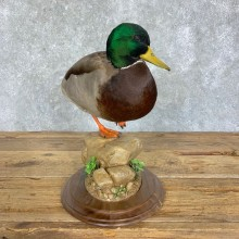 Mallard Duck Drake Bird Mount For Sale #22908 @ The Taxidermy Store