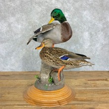 Mallard Duck Pair Bird Mount For Sale #22906 @ The Taxidermy Store
