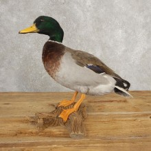Mallard Duck Taxidermy Mount For Sale #21052 - The Taxidermy Store
