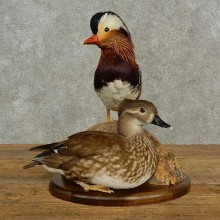 Mandarin Duck Bird Mount For Sale #16942 @ The Taxidermy Store