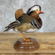 Mandarin Duck Bird Mount For Sale #22071 @ The Taxidermy Store