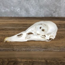 Mandarin Duck Skull Mount For Sale #19584 @ The Taxidermy Store
