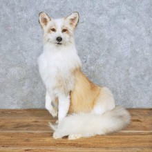 Standing Red Marbled Fox Mount For Sale #14701 @ The Taxidermy Store