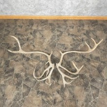 Matched Set Caribou Antlers For Sale #25119 @ The Taxidermy Store