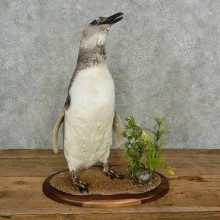 Magellanic Penguin Bird Mount For Sale #16966 @ The Taxidermy Store