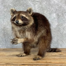 Melanistic Raccoon Life-Size Mount For Sale #23176 @ The Taxidermy Store