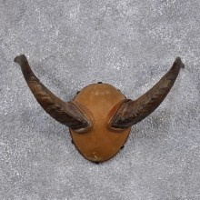 Merino Ram Leather Horn Plaque #10526 For Sale @ The Taxidermy Store
