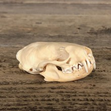Mink Full Skull Taxidermy Mount For Sale #19824 @ The Taxidermy Store