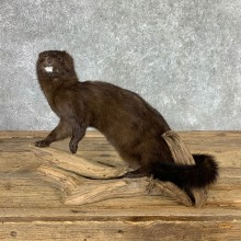 Mink Life-Size Taxidermy Mount For Sale #22929 @ The Taxidermy Store