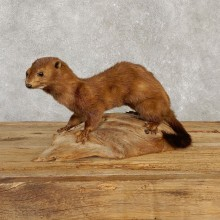 Mink Life-Size Mount For Sale #20120 @ The Taxidermy Store