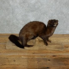 Mink Life-Size Taxidermy Mount For Sale #18266 @ The Taxidermy Store