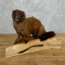 Mink Life-Size Taxidermy Mount For Sale #18267 @ The Taxidermy Store