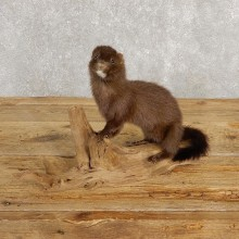Mink Life-Size Taxidermy Mount For Sale #20246 @ The Taxidermy Store