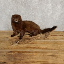 Mink Life-Size Taxidermy Mount For Sale #20247 @ The Taxidermy Store