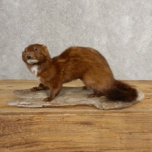 Mink Life-Size Taxidermy Mount For Sale #21053 @ The Taxidermy Store