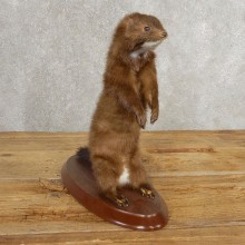 Mink Life-Size Taxidermy Mount For Sale #21054 @ The Taxidermy Store