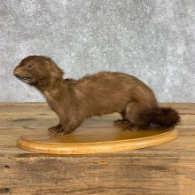 Mink Life-Size Taxidermy Mount For Sale #21494 @ The Taxidermy Store