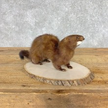 Mink Life-Size Taxidermy Mount For Sale #21518 @ The Taxidermy Store