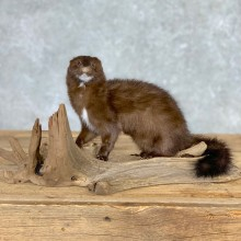 Mink Life-Size Taxidermy Mount For Sale #21692 @ The Taxidermy Store