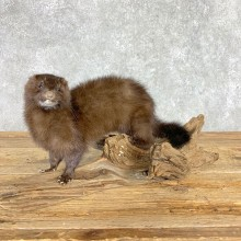 Mink Life-Size Taxidermy Mount For Sale #21693 @ The Taxidermy Store
