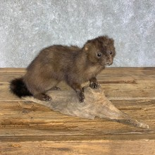 Mink Life-Size Taxidermy Mount For Sale #22265 @ The Taxidermy Store
