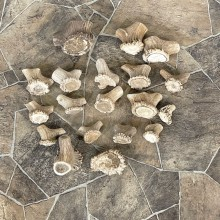 Mixed Antler Burr Craft Pack For Sale #25109 @ The Taxidermy Store