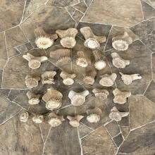 Mixed Antler Burr Craft Pack For Sale #25110 @ The Taxidermy Store