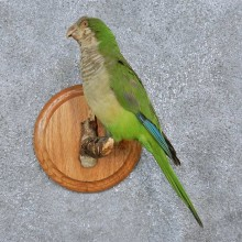 Monk Parakeet Bird Mount For Sale #15055 @ The Taxidermy Store