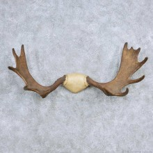 Moose Antler Taxidermy Mount For Sale #13924 For Sale @ The Taxidermy Store