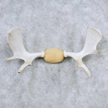 Moose Antler Taxidermy Mount For Sale #13925 For Sale @ The Taxidermy Store