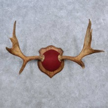 Moose Antler Plaque Mount For Sale #15662 @ The Taxidermy Store
