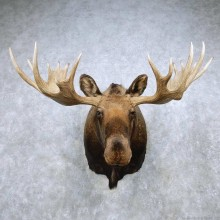 Moose Shoulder Mount For Sale #14893 @ The Taxidermy Store