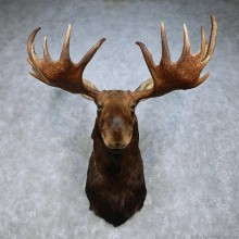 Moose Mount For Sale #15017 @ The Taxidermy Store