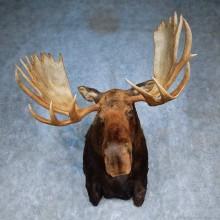 Alaskan Yukon Moose Shoulder Mount For Sale #15543 @ The Taxidermy Store