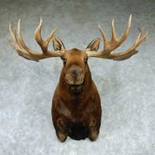 Alaskan Moose Shoulder Taxidermy Mount #13207 For Sale @ The Taxidermy Store