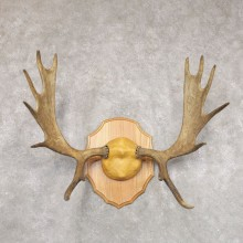 Mouse Antler Plaque For Sale #22353 @ The Taxidermy Store