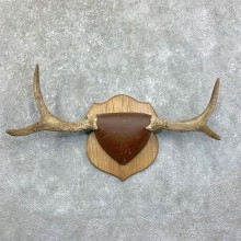 Moose Antler Plaque For Sale #22867 @ The Taxidermy Store