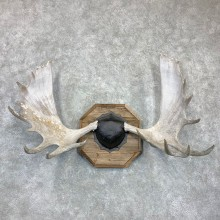 Moose Antler Plaque For Sale #23132 @ The Taxidermy Store