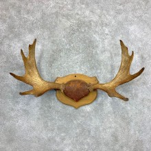 Moose Antler Plaque For Sale #23369 @ The Taxidermy Store